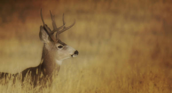 Photograph - Papa Deer by Amanda Smith