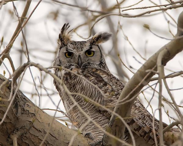 Photograph - Papa Owl by Loree Johnson