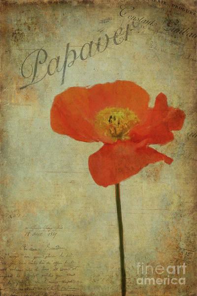 Wall Art - Painting - Papaver by John Edwards