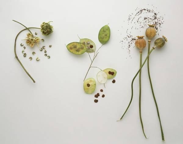 Biennial Photograph - Papaver, Poppy Heads And Tiny Black by Frank Greenaway