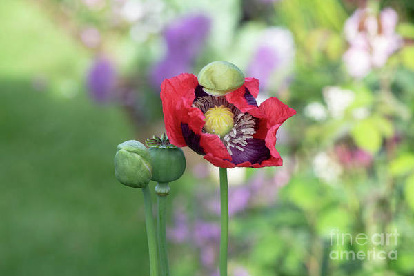 Wall Art - Photograph - Papaver Somniferum Opening In The Morning Landscape by Tim Gainey
