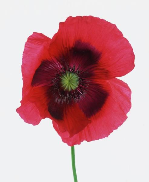 Biennial Photograph - Papaver Sp., Poppy Flowerhead, Close Up by Dorling Kindersley