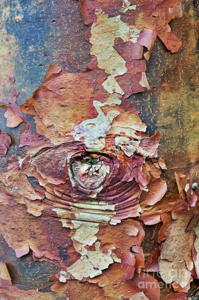 Photograph - Paperbark Maple Tree Bark Abstract by Tim Gainey