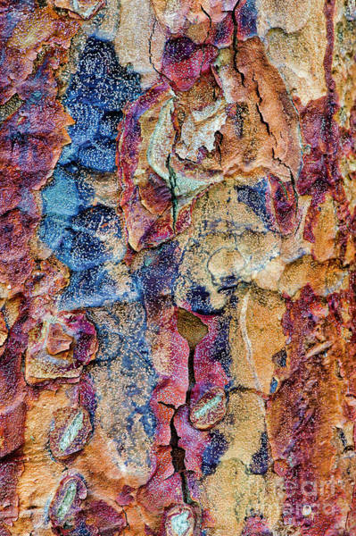 Photograph - Paperbark Maple Tree Bark Colour by Tim Gainey