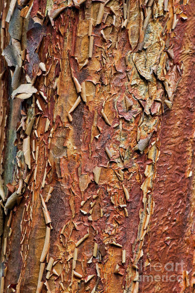 Photograph - Paperbark Maple Tree Bark by Tim Gainey