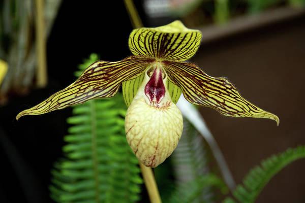Photograph - Paph. Harold Koopowitz Orchid by Jennifer Wick