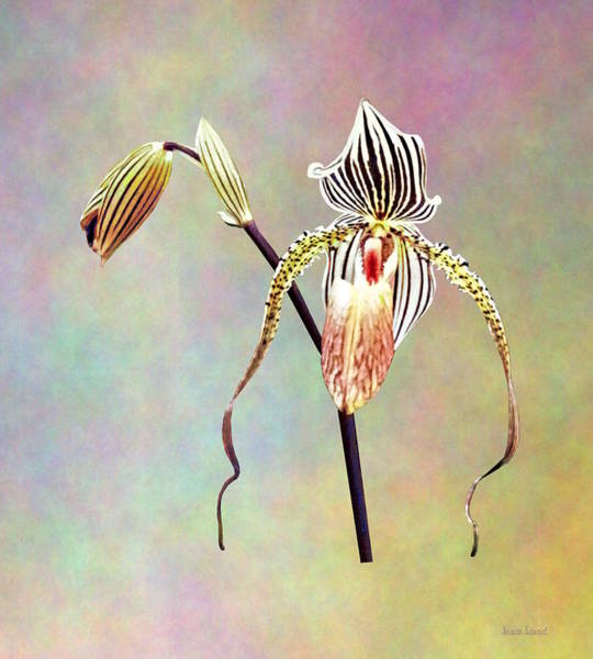 Photograph - Paph Taiwan Orchid by Susan Savad