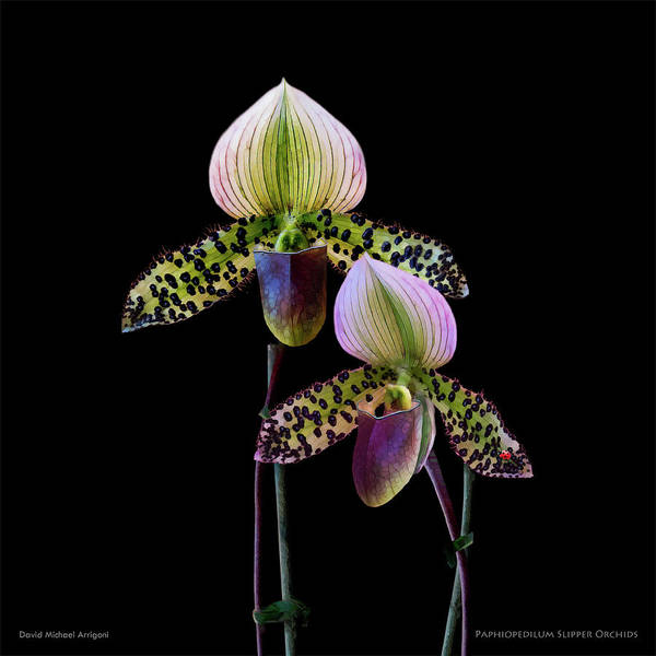 Wall Art - Painting - Paphiopedilum Slipper Orchids by David Arrigoni