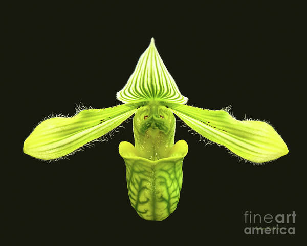 Photograph - Paphiopedilum Venustum Closeup by Susan Wiedmann