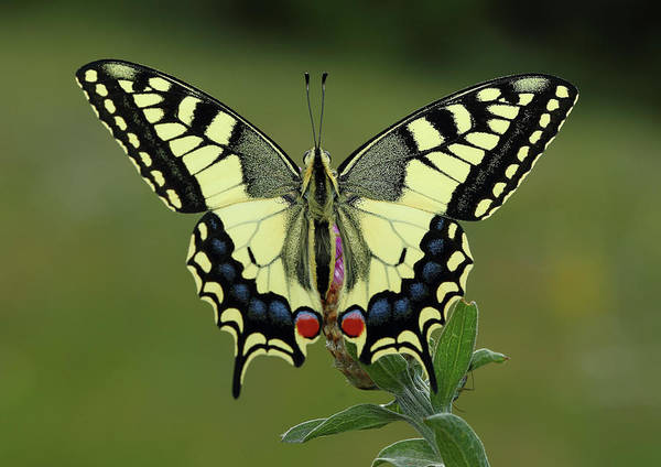 Natural Light Photograph - Papilio Machaon by I Am Passionate About Photography And Light