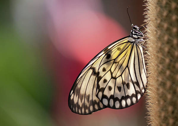 Insect Photograph - Papillon by Pndtphoto