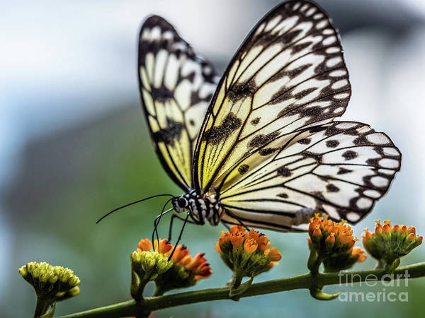 Wall Art - Photograph - Papillon by Robin Zygelman