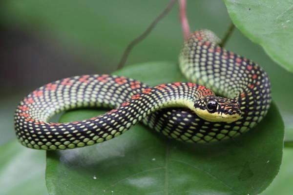 Snake Photograph - Paradise Tree Snake by Myron Tay
