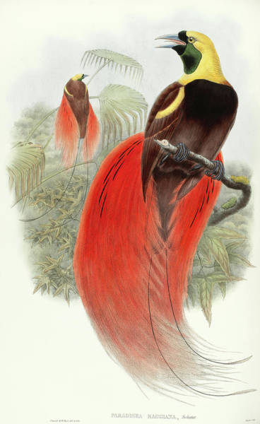 Bird Of Paradise Painting - Raggiana Bird-of-paradise by John Gould