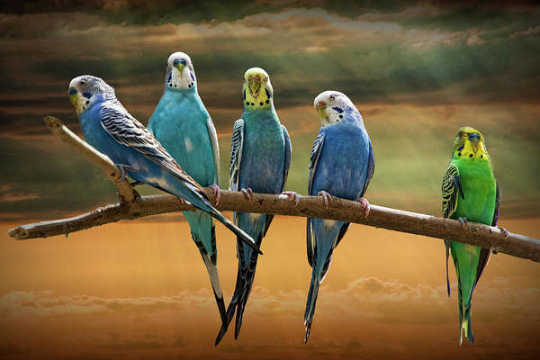 Photograph - Parakeets Perched Out On A Tree Branch Limb At Sunset by Randall Nyhof