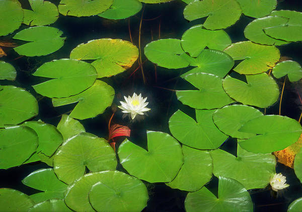 Photograph - Park Series 0332 Water Lily by Carlos Diaz