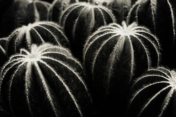 Photograph - Parodia Magnifica Cactus B W by Jenny Rainbow