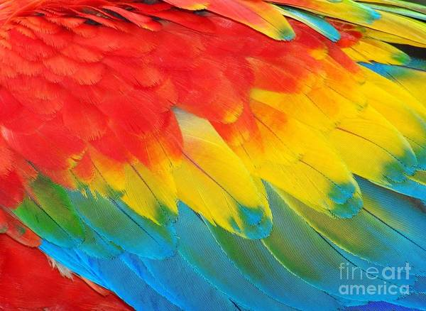 Wall Art - Photograph - Parrot Feathers, Red And Blue Exotic by Edelwipix