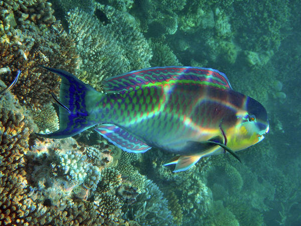The Maldives Photograph - Parrot Fish by Federica Grassi