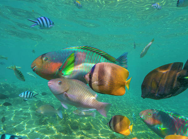 Wall Art - Photograph - Parrotfish, Butterflyfish, And Sergeant by