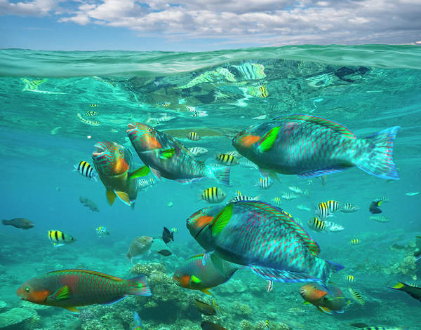 Wall Art - Photograph - Parrotfish, Damselfish, Sergeant Major by