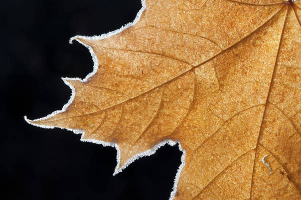 Season Photograph - Part Of A Brown Frosted Maple Leaf With by Mint Images - David Schultz