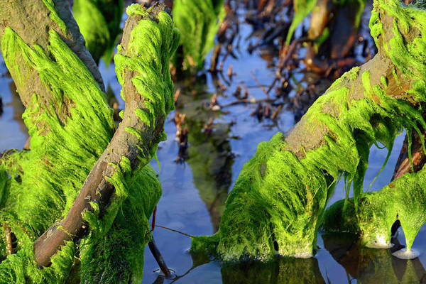 Photograph - Parting Seaweed by Bruce Gourley