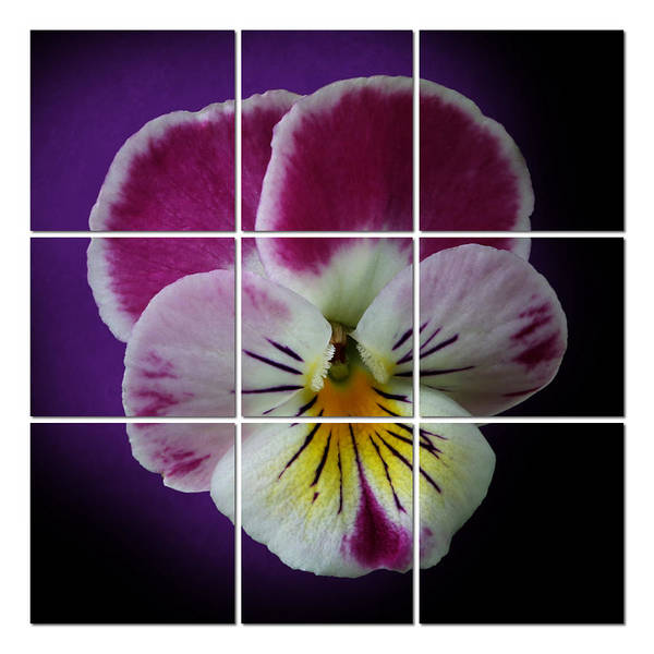 Digital Art - Partitioned Pansy by Debi Dalio