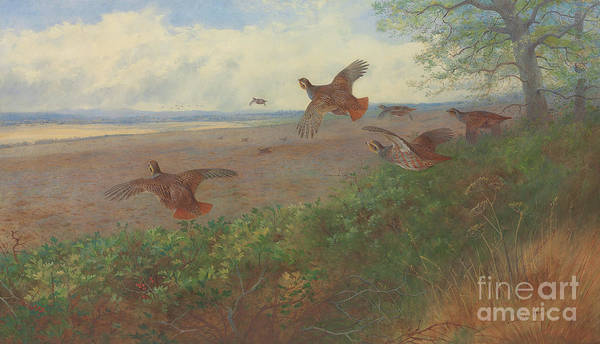 Wall Art - Painting - Partridges In Flight, 1907 by Archibald Thorburn