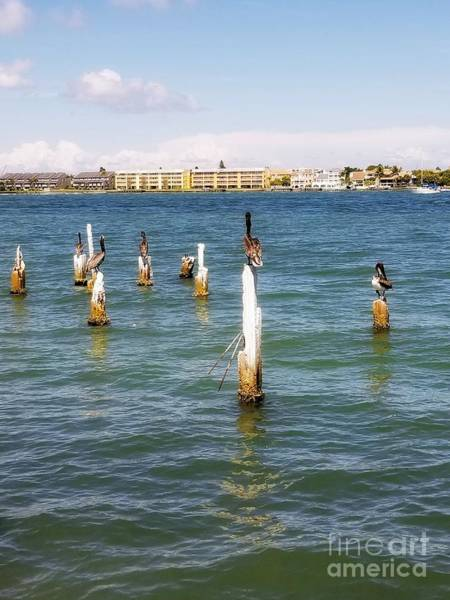 Photograph - Pass-a-grille Bay Pelicans by Rachel Hannah