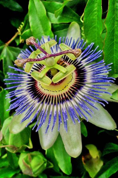 Photograph - Passion Flower Bee Delight by Allen Nice-Webb