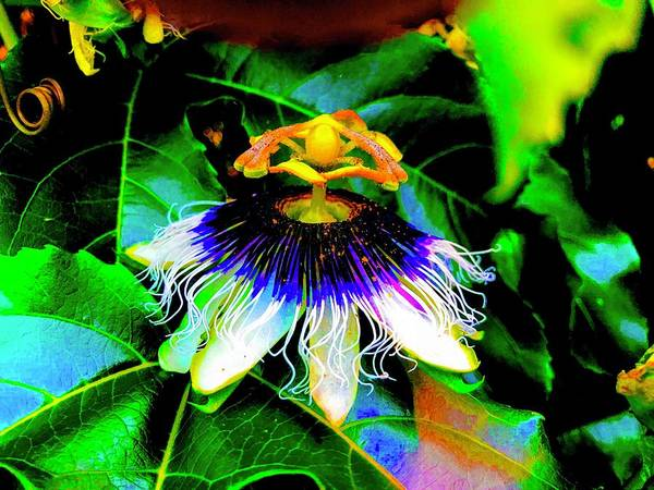 Photograph - Passion Flower For Pele In Moonlight Aglow  by Joalene Young