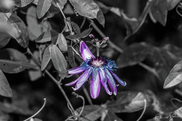 Photograph - Passion Flower Only Alt by Dennis Dempsie