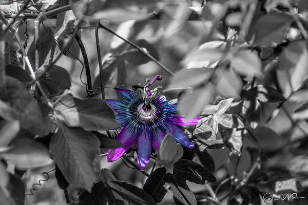 Photograph - Passion Flower Only by Dennis Dempsie