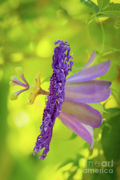 Photograph - Passionate Purple Passiflora by Sabrina L Ryan