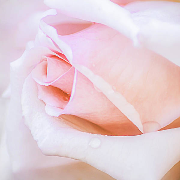 Photograph - Pastel Pink Rose Water Drops by Julie Palencia