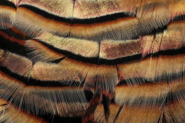 Meleagris Gallopavo Photograph - Pattern In Male Turkey Feathers by Adam Jones