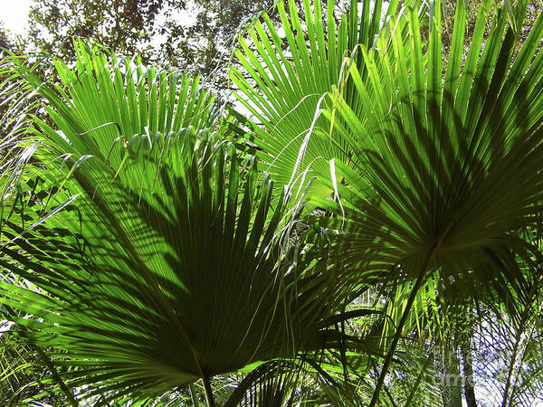 Photograph - Pattern In The Palm Leaves by D Hackett