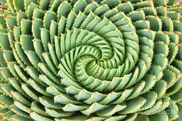 Wall Art - Photograph - Pattern Of Spiral Aloe Aloe Polyphylla by Photosky