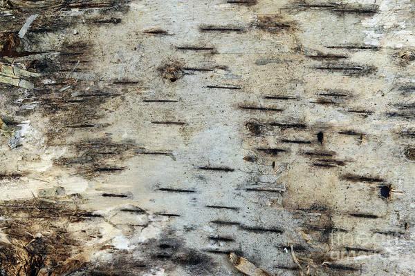 Wall Art - Photograph - Pattern Of The Birch Bark by Michal Boubin