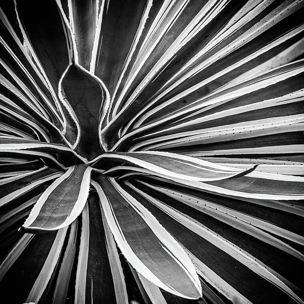 Photograph - Patterns And Plants Black And White by Julie Palencia