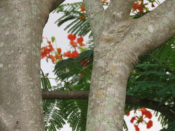 Photograph - Patterns Of A Poinciana Tree  by Joan Stratton