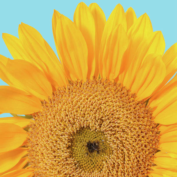 Blue Background Photograph - Patterns Of Yellow Sunflower On Blue by Travelif