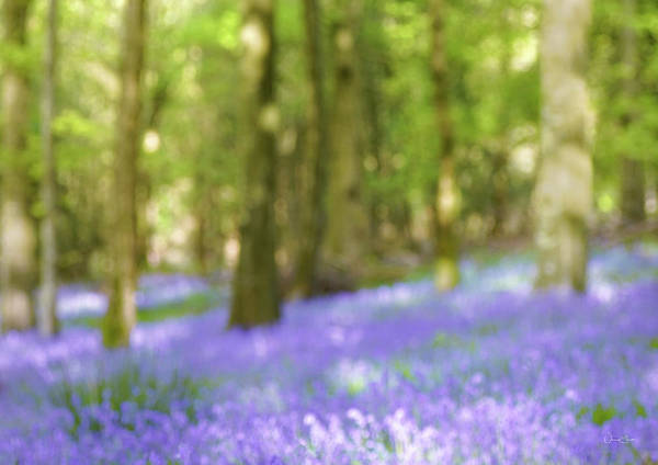 Pause Among The Bluebells Art Print by Norma Slack