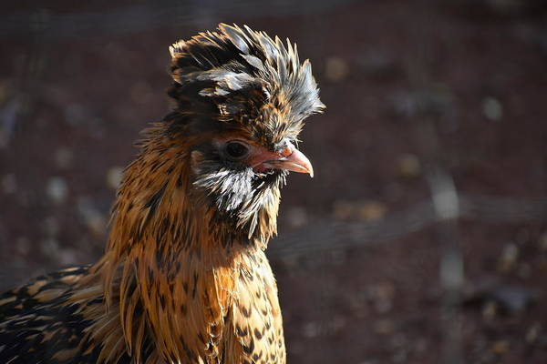 Chicken Feet Photograph - Pavlovskaya Hen by Imogene Frazier