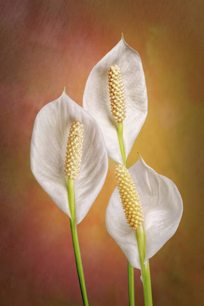 Wall Art - Photograph - Peace Lily Flowers by Tom Mc Nemar
