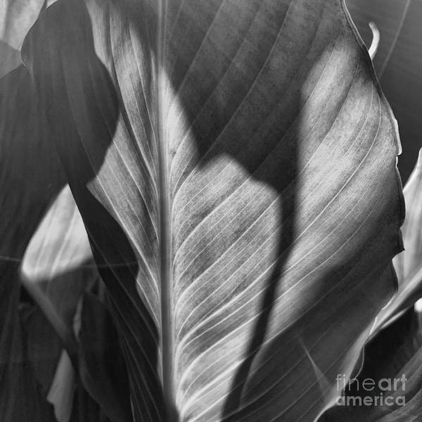 Wall Art - Photograph - Peace Lily by HD Connelly