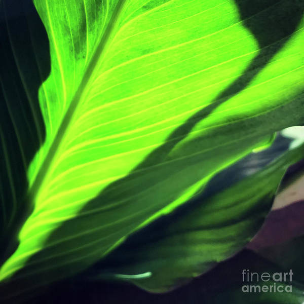 Wall Art - Photograph - peace lily II by HD Connelly