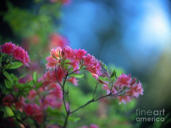 Wall Art - Photograph - Peaceful Azaleas Light In The Garden by Mike Reid