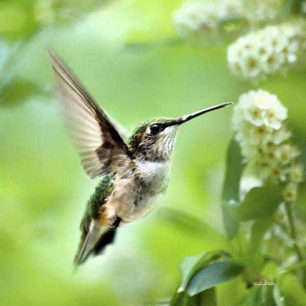 Photograph - Peaceful Love Hummingbird Square by Christina Rollo
